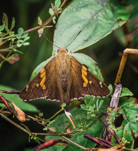 dbg6 da3004 hd14tc k1 michigan moth pentax ricoh unitedstates butterfly closecrop handheld nativelighting skipper meadow topview