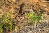 Ruffed Grouse (Bonasa umbellus) by Brown Acres Mark