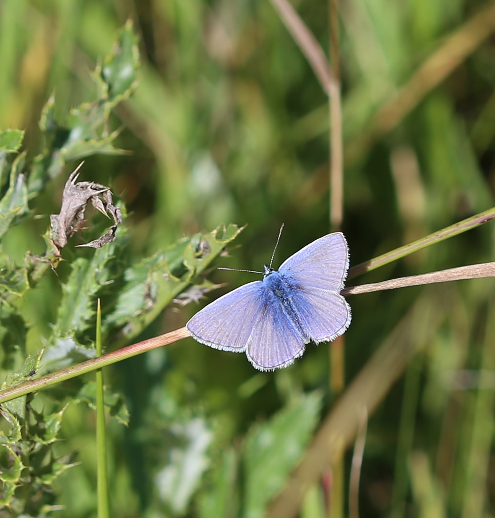 Common Blue - Pulborought to Petworth Polyommatus icarus