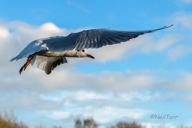 Gull Fly By