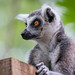 Ring-tailed Lemur - Photo (c) Zweer de Bruin, some rights reserved (CC BY-NC-ND)