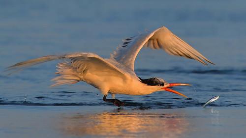 elegant tern bolsa chica fish fishing golden light sunset bmse salah baazizi wingsinmotion canon 7d2 400mm f56 l