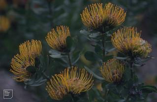 Leucospermum . Praecox group. Kirstenbosch. 1997