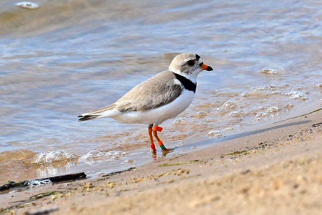 June 2017 - Piping Plover Banding at Cat Island