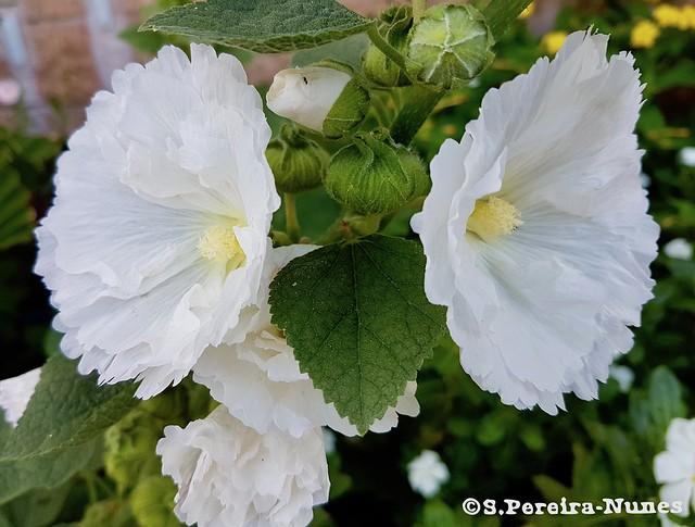 White Alcea, Hollyhock, El Salvador