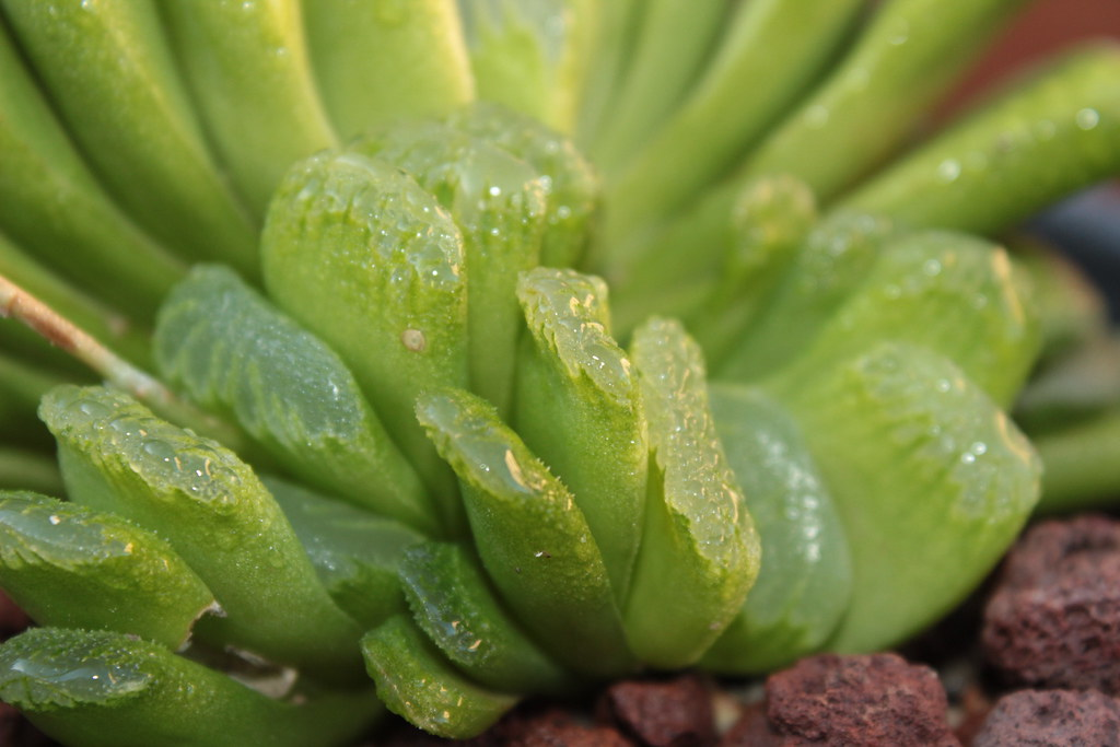haworthia truncata cv  u0026 39 lime green u0026 39