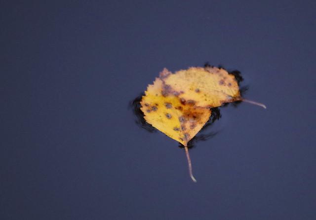 Birch leafs on water