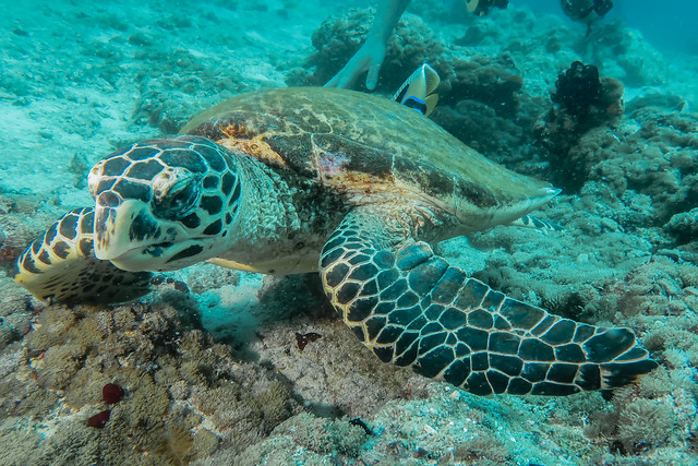 Tartaruga Imbricata. Hawhsbill Sea Turtle. (Eretmochelys Imbricata).