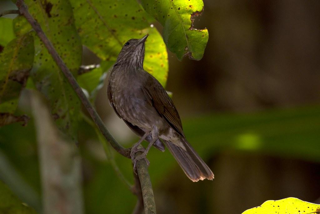 Turdus fumigatus