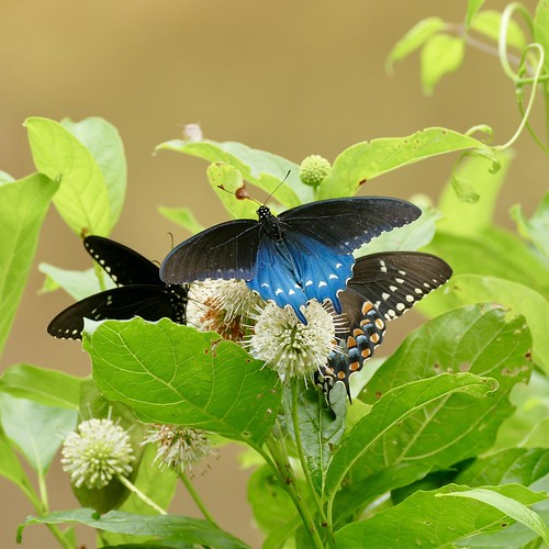 usa butterfly pipevineswallowtail va virginia craigcounty fenwickminesrecreationarea battus taxonomy:binomial=battusphilenor taxonomy:common=pipevineswallowtail