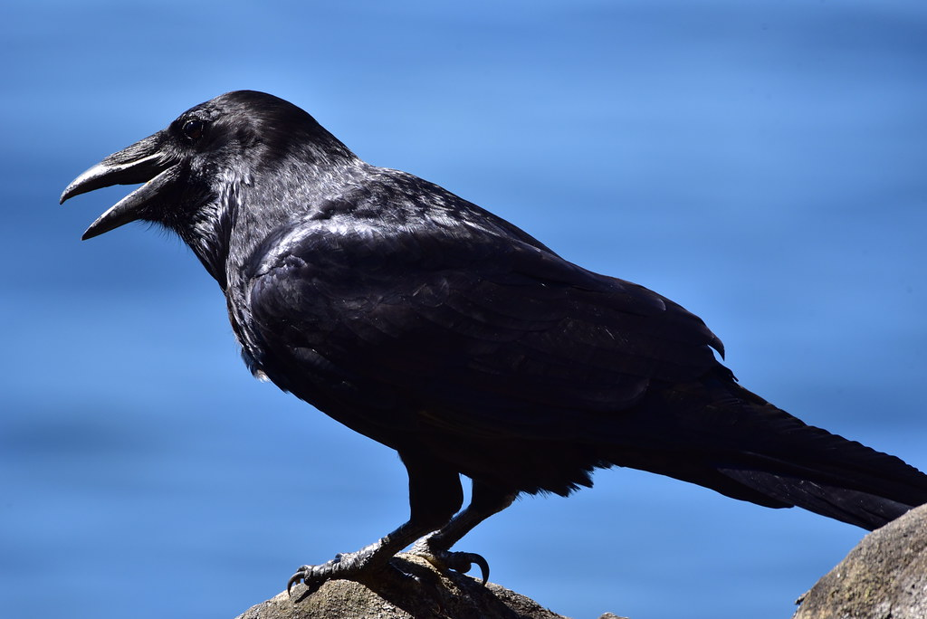 Raven gasping for air on a hot day | 239/365 33 degrees Cels