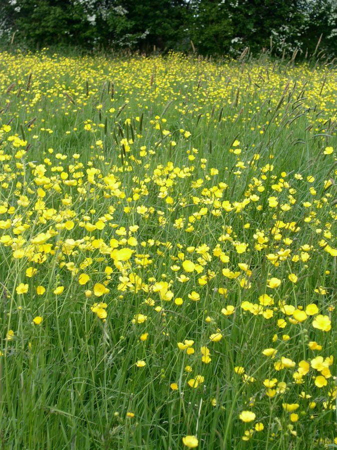 Buttercups in May near Chawton