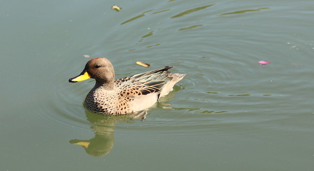Pato Barcino / Speckled Teal / Anas flavirostris
