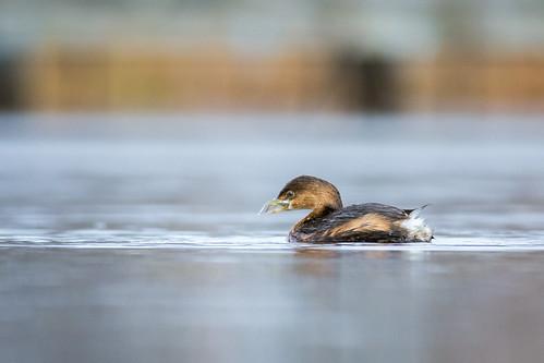 duck johnheinznwr wildlife minnow nature bird waterfowl water grebe tinicum piedbilledgrebe heinz heinznwr sharonhill pennsylvania unitedstates us nikon d7200