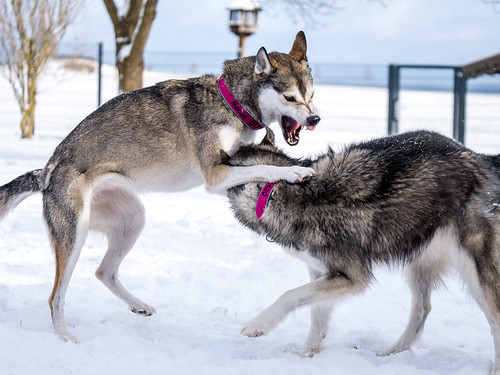 Siberian Huskies cover image
