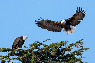 Eagle Whoopie Series pic 4 of 5 | by Frank Coster