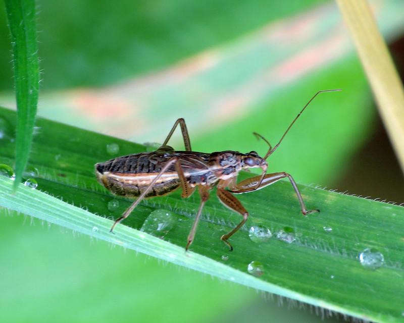 Broad Damselbug - Nabis flavomarginatus