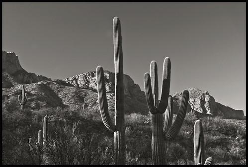 mountains hills santacatalinamountains plants desertplants cacti succulents xerophytes cactaceae carnigeagigantia saguaro catalinastatepark arizona tucson pimacounty