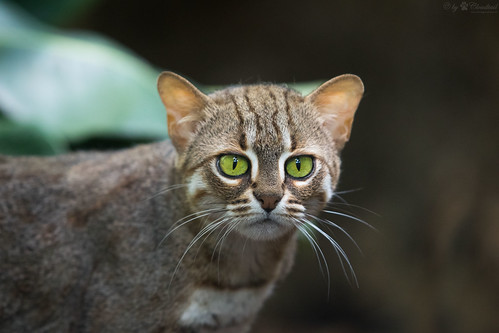 rusty-spotted cat | by Cloudtail the Snow Leopard