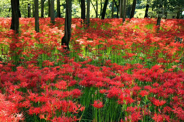 spider lily field.