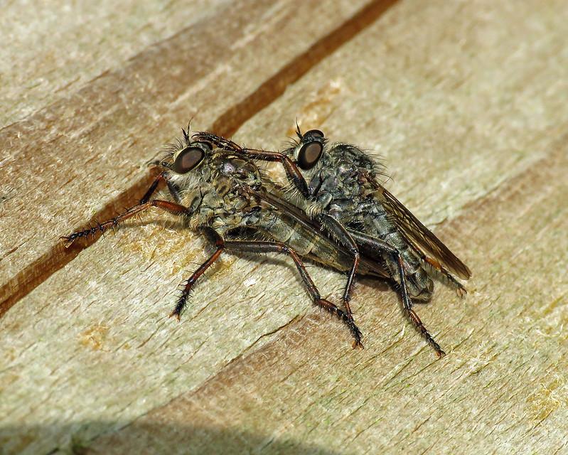 Kite-tailed Robberfly - Machimus atricapillus