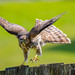 Immature Red Shouldered Hawk getting ready for take off by Christine Swanzy - (On and off for a while :)
