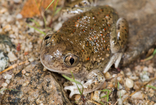 Mexican Spadefoot Toad | by Jeremy Wright Photography