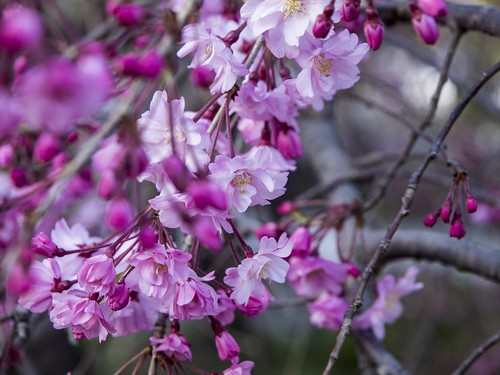 Purple cherry tree in Japan | by publicdomainphotography