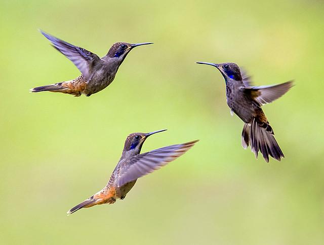 Tres Colibries Pardo Orejivioleta, Finca Alejandria, Bosque Nebuloso, Los Andes, Colombia.