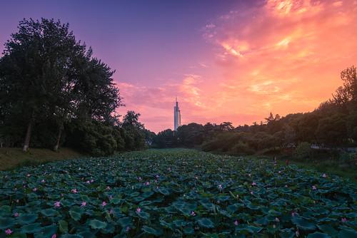 lotus pond sunset twilight dusk river flower landscape building architecture skyscraper sky nanjingshi jiangsusheng china cn tree cloud outdoor summer waterlily nikon nikond800 tamronsp1530f28