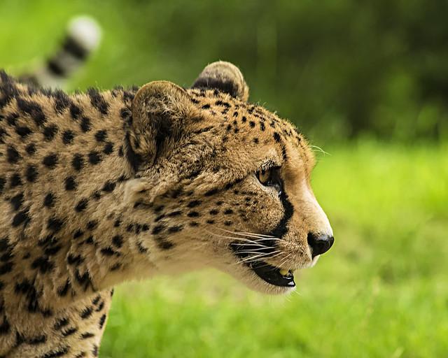 Cheetah 25th aug 17 (9)