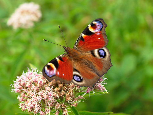 Tagpfauenauge -  Aglais io - Peacock Butterfly | by PHOTOGRAPHY Toporowski
