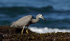 White-faced Heron (Egretta novaehollandiae) by patrickkavanagh