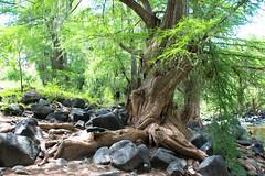 Ahuehuete del río Los Melones