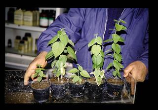 Nursery Tree Of Juniperus Polycarpus = Juniperus polycarpusの幼苗