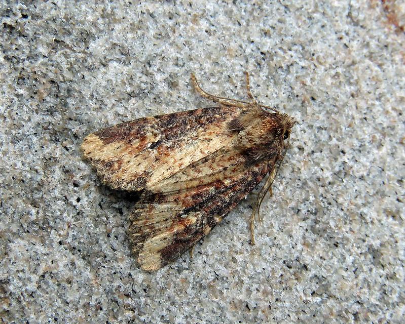 73.169 Common Rustic agg. - Mesapamea secalis agg.