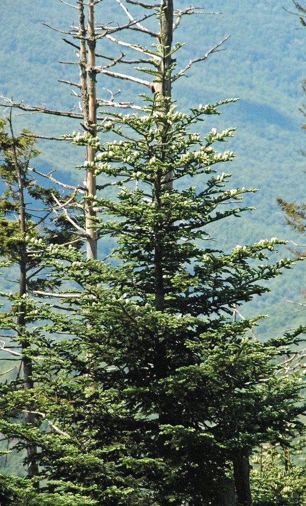 Abies Fraseri Fraser Fir Clingmans Dome Great Smoky Mo Flickr
