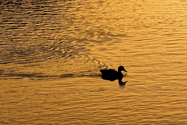 Duck on gold - Canard sur or