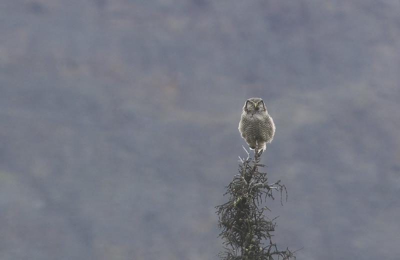 Northern Hawk-Owl (Surnia ulula caparoch)