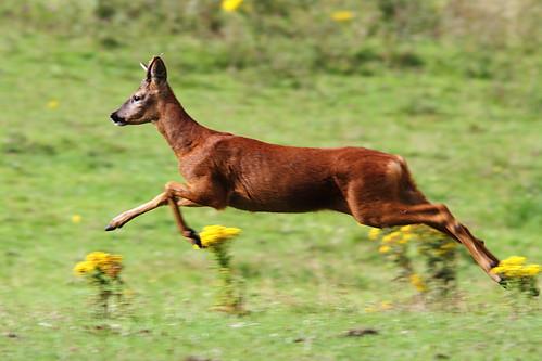 Roe Deer   by Paul Marfell