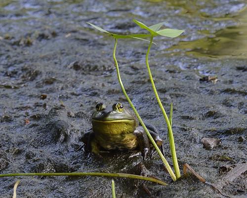 Bullfrog basswood trail petrie island 04072015_DSC6750 | by David Villeneuve