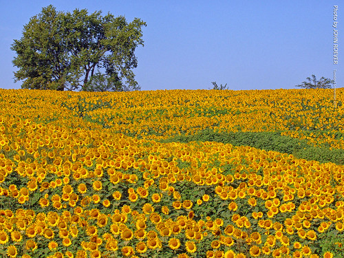 grinterfarms sunflower sunflowers sunflowerfield sunflowerfields kansas leavenworthcounty landscape flower flowers wildflower wildflowers 2017 september september2017 morning bluesky blueskies color colour colors colours nature usa