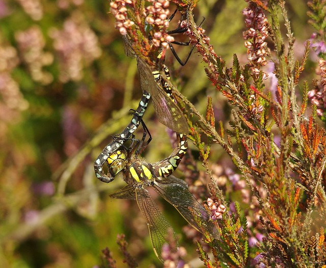 Dragonflys mating longshaw peak district 2017 (10)