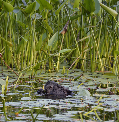 Beaver turtle pond petrie island 03072015_DSC6551   by David Villeneuve