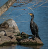 Double-crested Cormorant (Phalacrocorax auritus) by Dude in CA
