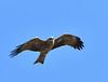 Whistling Kite - in flight by Free_aza_Bird