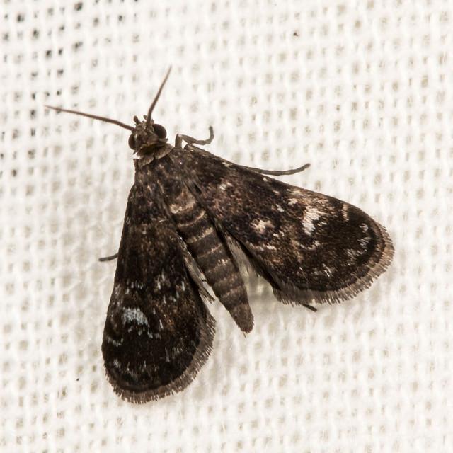 Black Duckweed Moth - Synclita tinealis