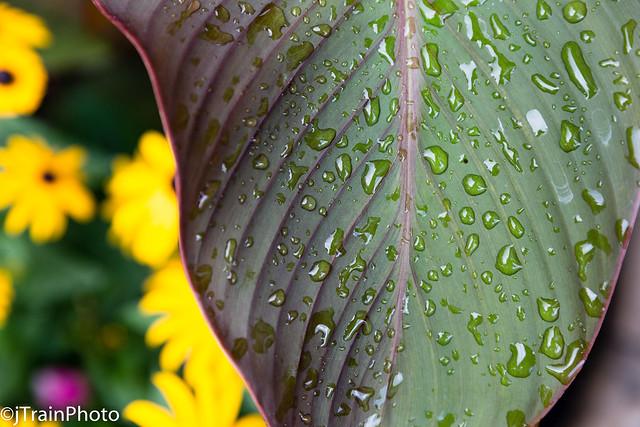 Summer rain on the canna.