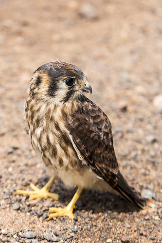 minnesota pinecounty americankestrel falcosparverius kestrel falcon female