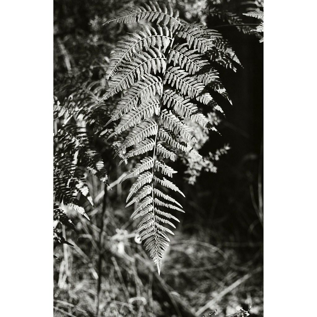 Marsfield, NSW - Kodak Tri-X 400